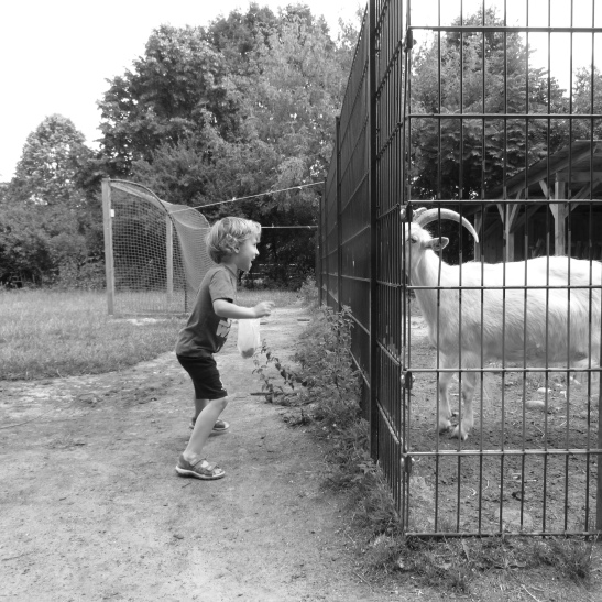 Goats Staring at Boys (image: notmsparker)