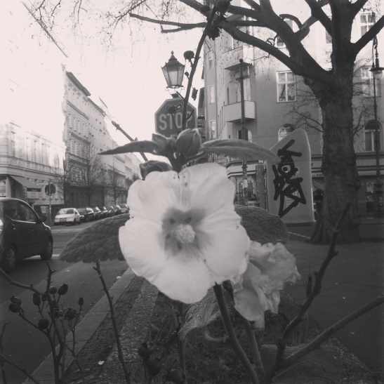 Yellow hollyhocks in bloom on Christmas Eve, Gneisenaustrasse in Berlin-Kreuzberg (photo by nmp)